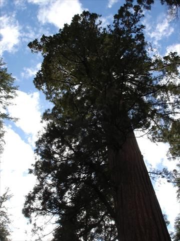 Redwood Tree from below