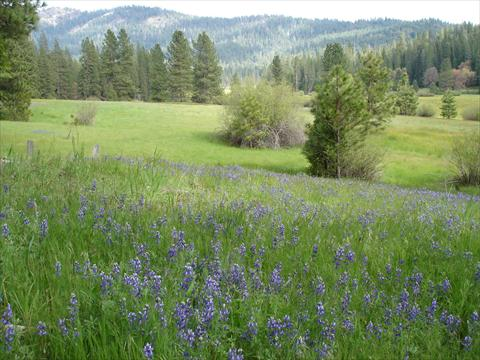 Meadow with lots of violet flo...