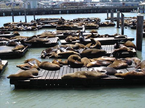 Sea lions in the sun at pier 3...